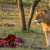 Who Gave This Dude the Idea to Steal Food from A Wild Lion? This Video Left Me Speechless. And How He Did It – WOW.