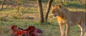 guy-steals-food-from-a-lion